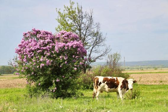 这样开着紫色花的树,几乎每家都有一棵